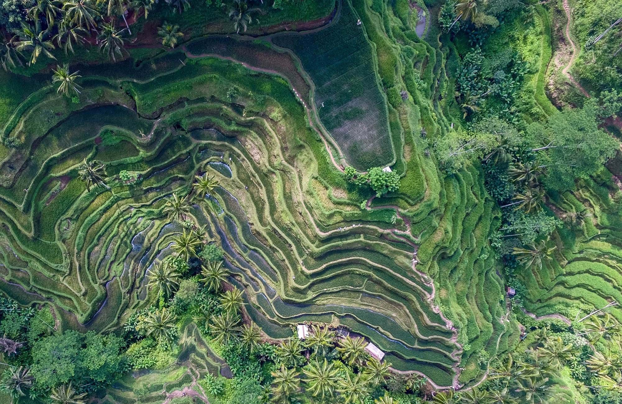sumatra-indonesia-ricefields-drone-green-cover