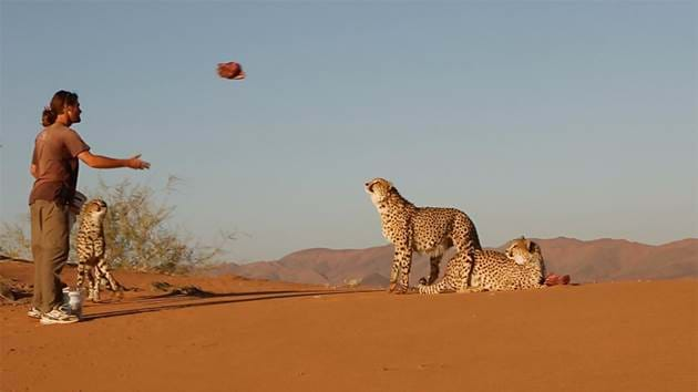save-kanaan_cheetah_feed_1280x720